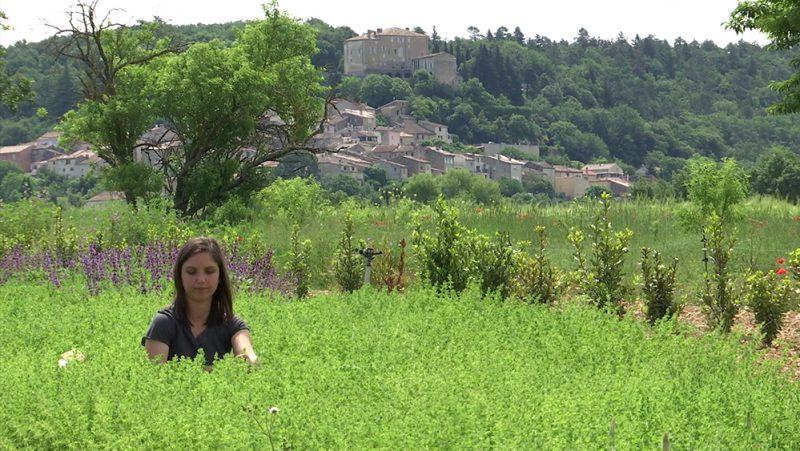 Coup de projecteur sur l'origan de Provence cultivé et récolté par Truc & Co